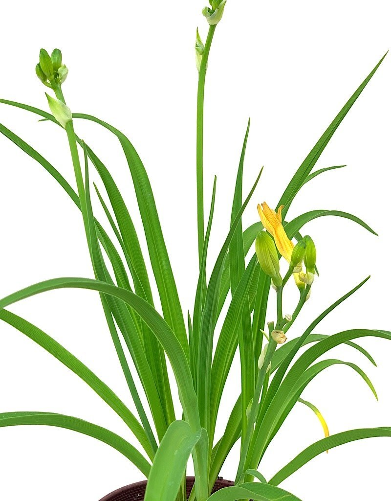 Hemerocallis 'Happy Returns' - 1 gal
