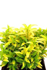 Euonymus 'Butterscotch' - Quart