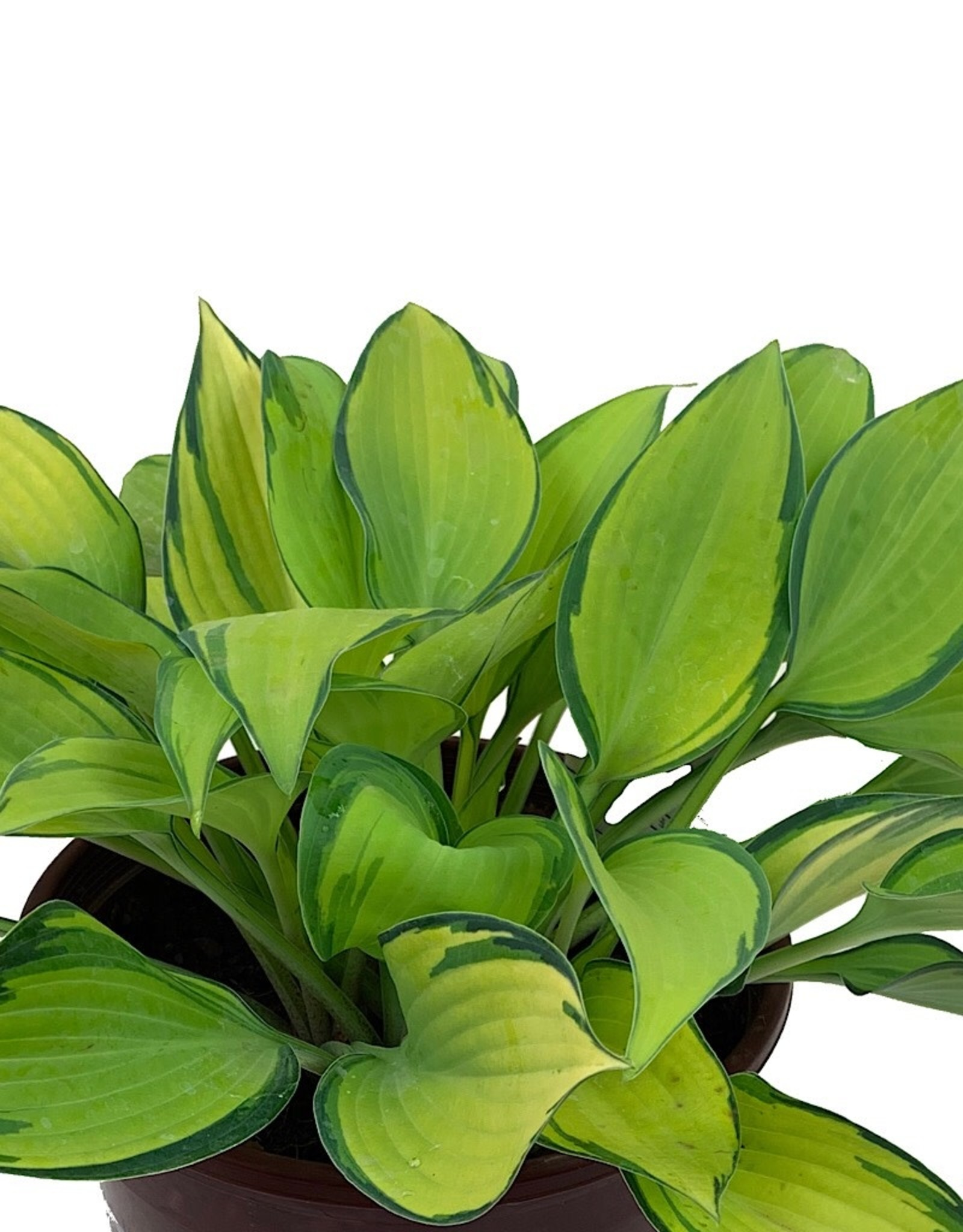Hosta 'June' 1 Gallon