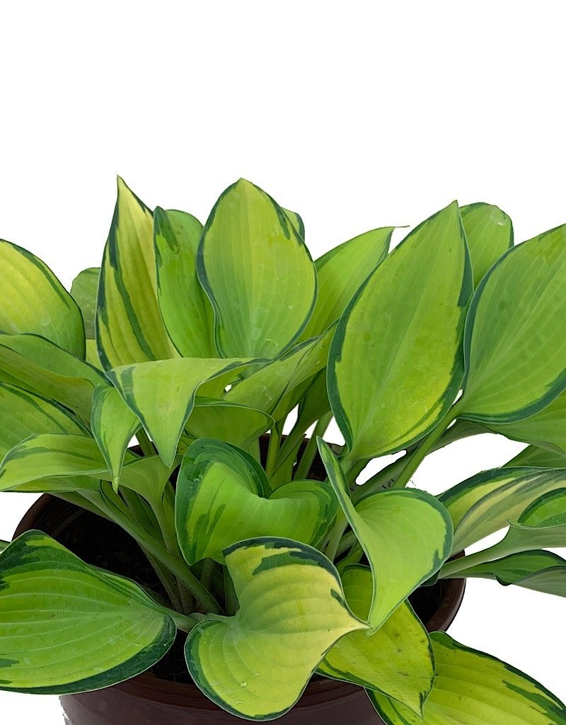 Hosta 'June' - 1 gal