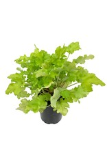 Heuchera 'Lime Marmalade' - Quart