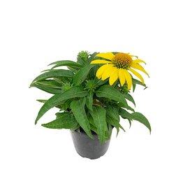 Echinacea 'Sombrero Lemon Yellow' - Quart