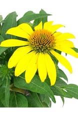 Echinacea 'Sombrero Lemon Yellow' Quart