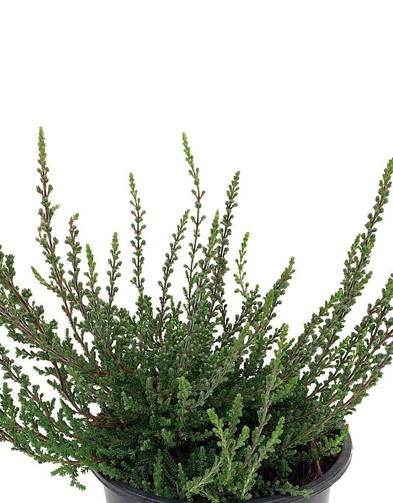 Calluna vulgaris 'Zalina' - 4 inch
