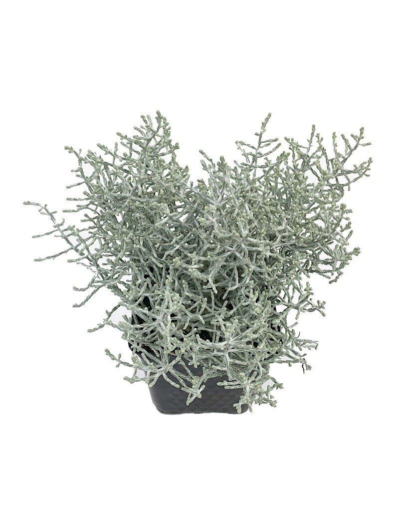 Calocephalus 'Silver Stone' - 4 inch