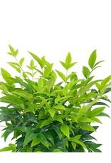 Nandina 'Lemon Lime' 1 Gallon