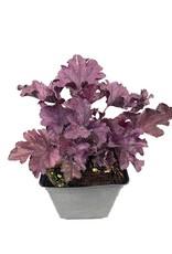 Heuchera 'Forever Purple' - 1 gal