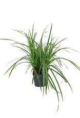 Carex morrowii 'Ice Dance' - 1 gal