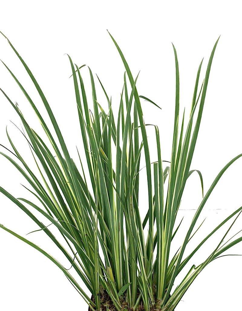 Acorus gramineus 'Variegatus' - 4 inch