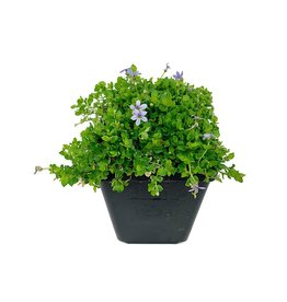 Isotoma fluviatillis 4 Inch