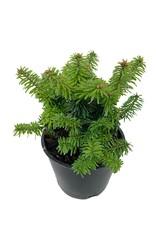 Abies balsamea 'Piccolo'- 4 inch