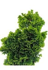 Chamaecyparis obtusa 'Verdoni' 4 Inch