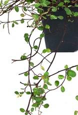 Muehlenbeckia a. 'Tricolor'- 4 inch