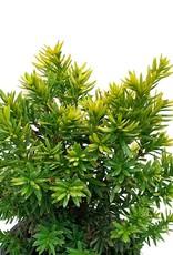 Taxus cuspidata 'Nana Aurescens' - 4 inch