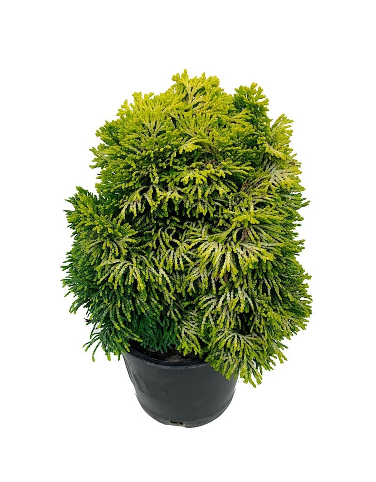 Chamaecyparis obtusa 'Nana Lutea' - 4 inch