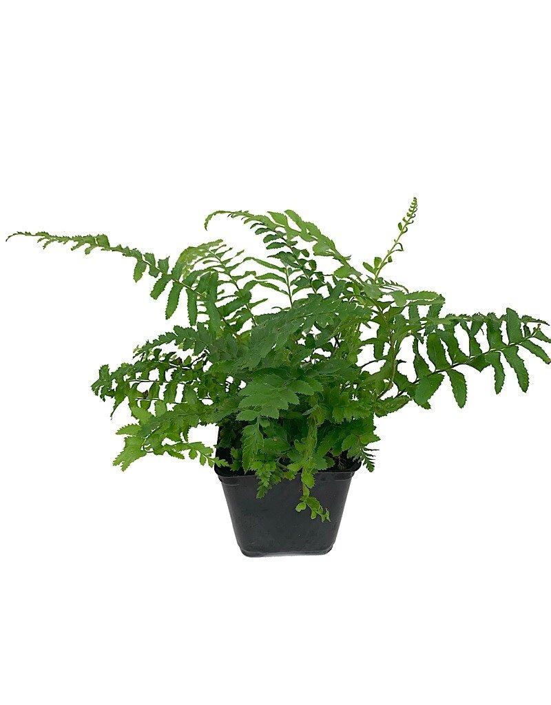 Polystichum munitum- 4 inch