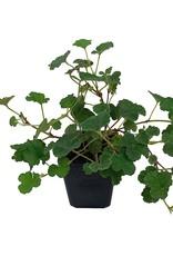 Rubus pentalobus - 4 Inch