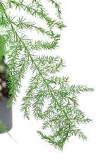 Asparagus plumosus' - Quart