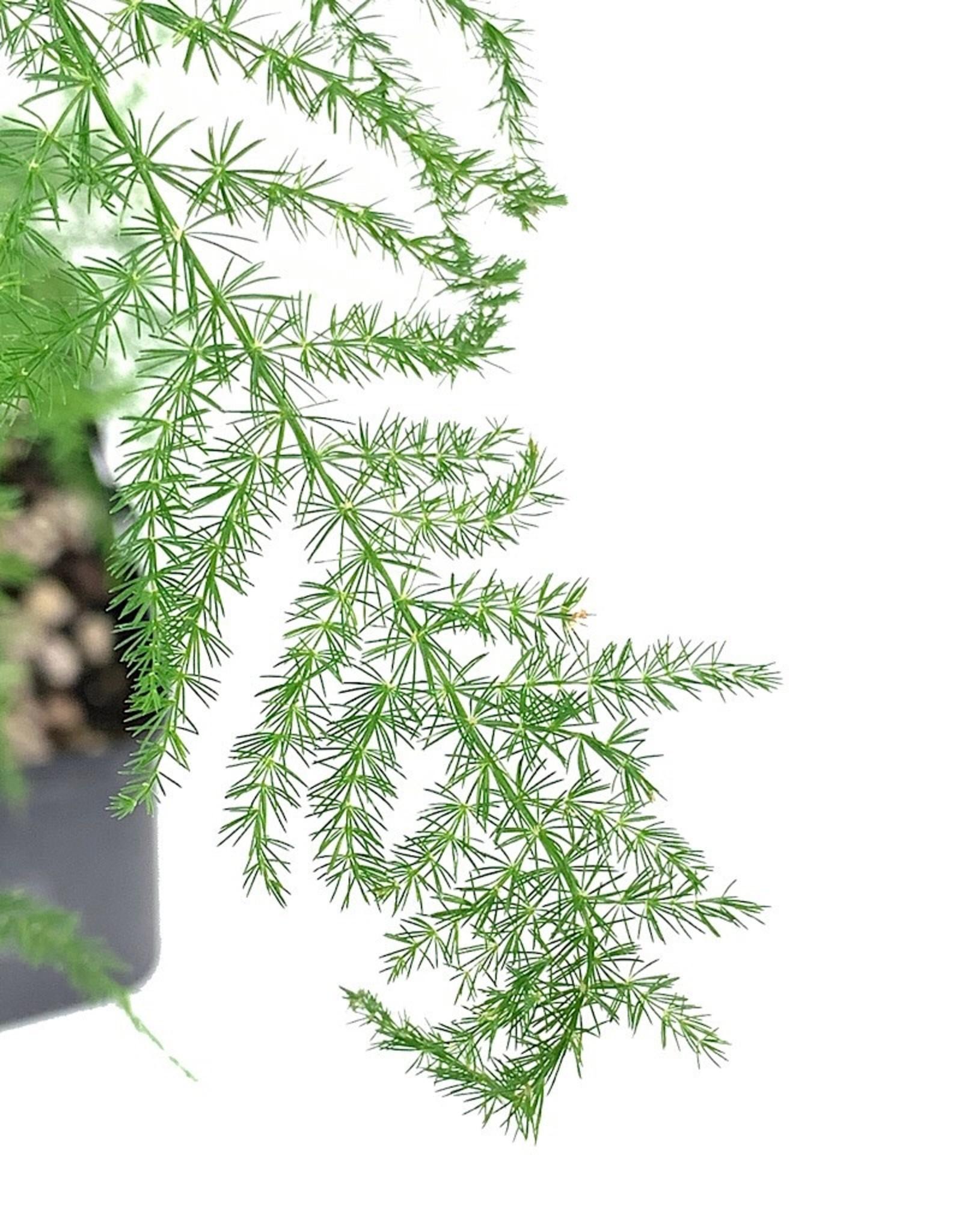 Asparagus plumosus' Quart