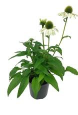 Echinacea p. 'Pow Wow White'- 1 gal