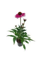 Echinacea 'Kismet Raspberry' Quart