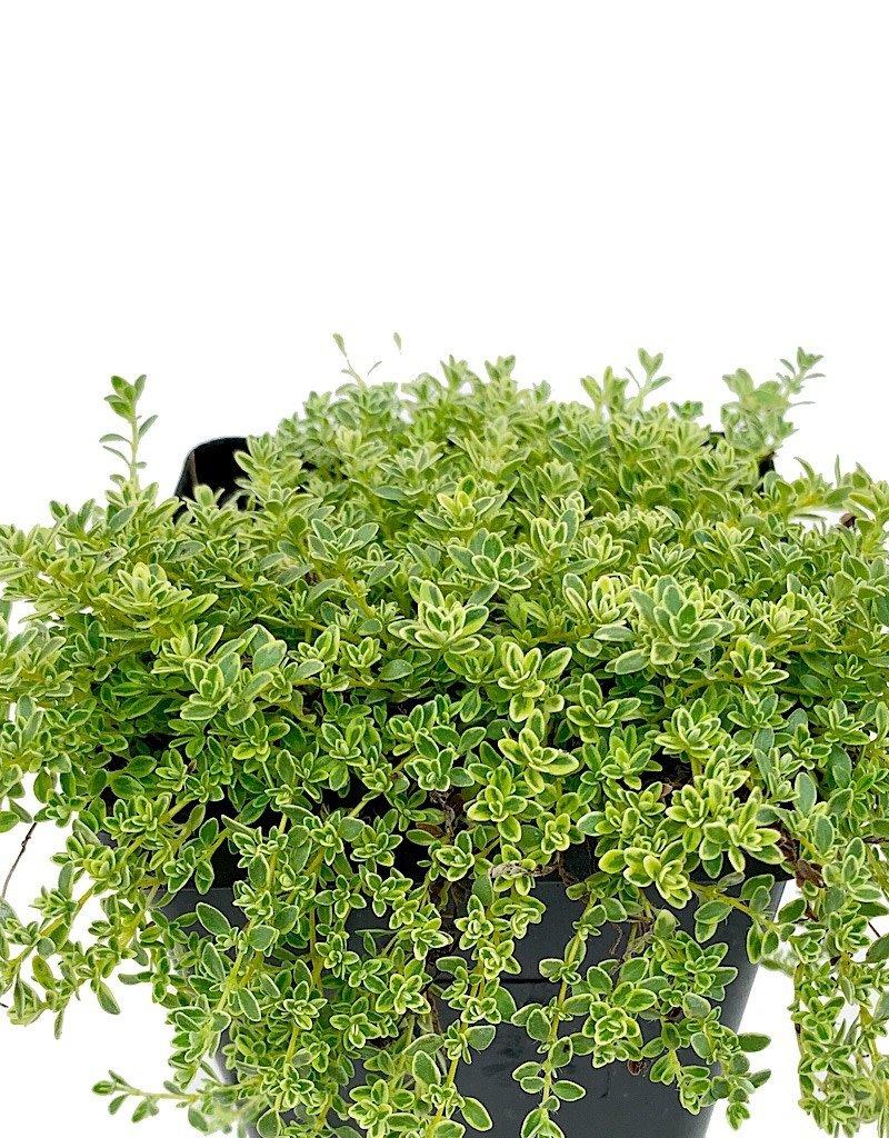 Thymus p. 'Highland Cream' - 4 inch