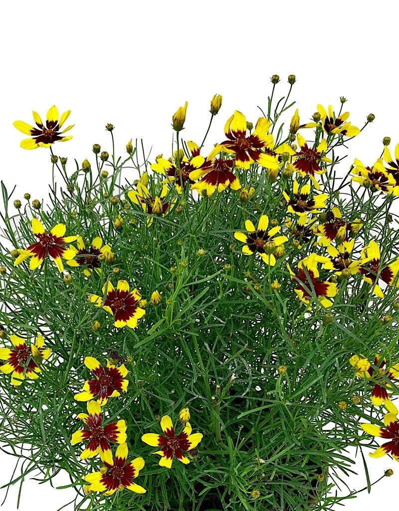 Coreopsis 'Firefly' - 1 gal