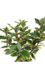 Elaeagnus x e. 'Olive Martini' - 1 Gal