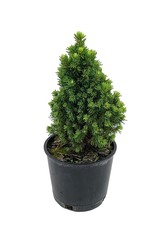 Picea glauca 'Pixie Dust' - 4 inch