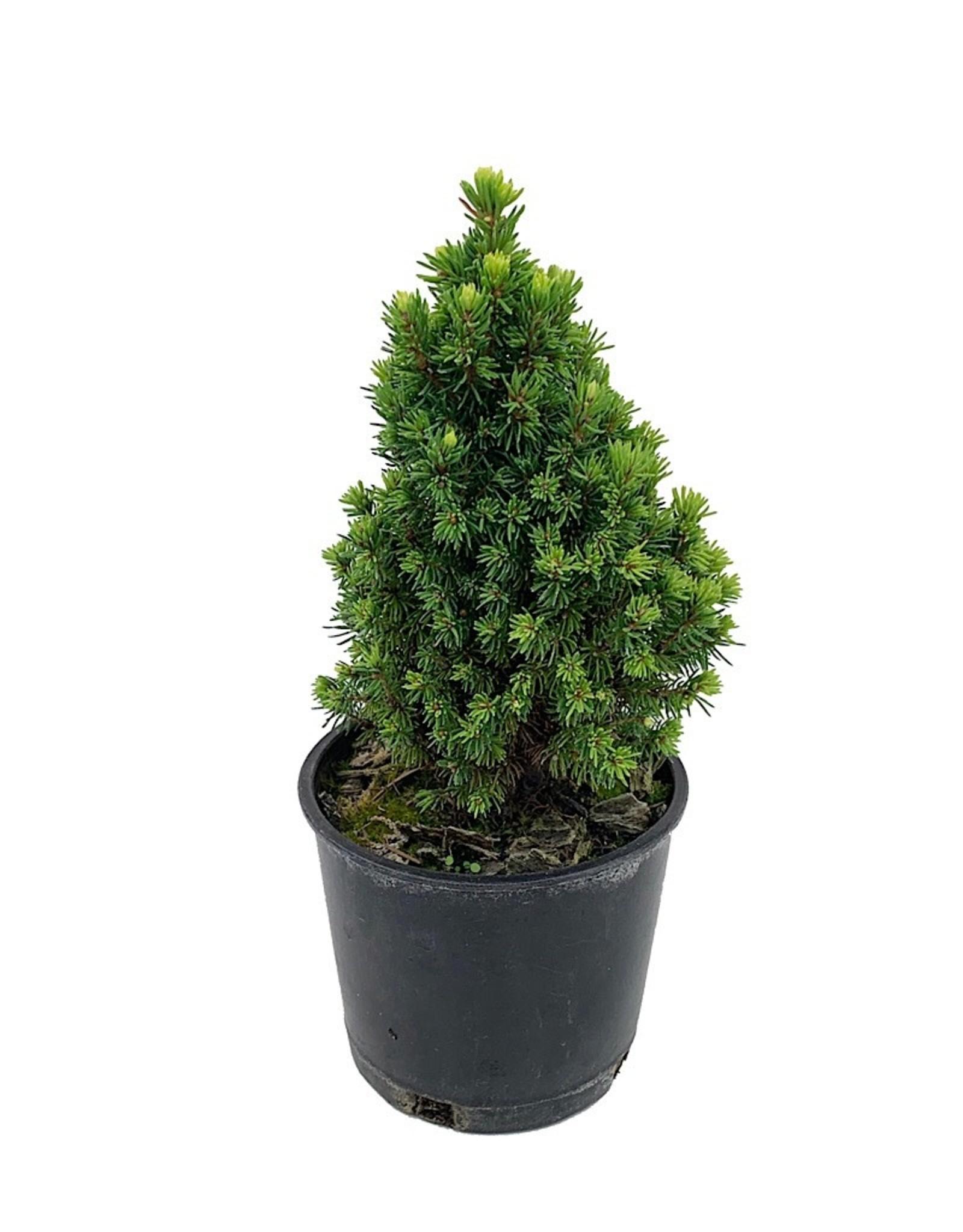 Picea glauca 'Pixie Dust' - 4 inch