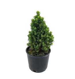 Picea glauca 'Pixie Dust' 4 Inch