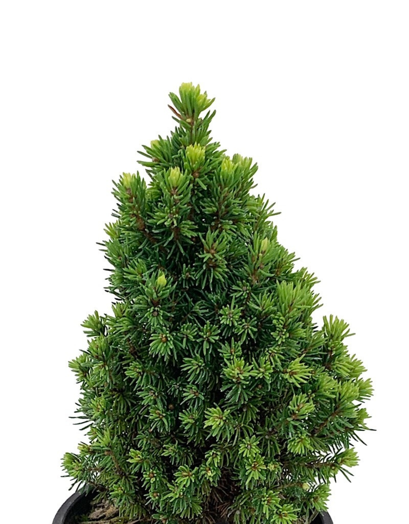 Picea glauca 'Pixie Dust' 4 Inch