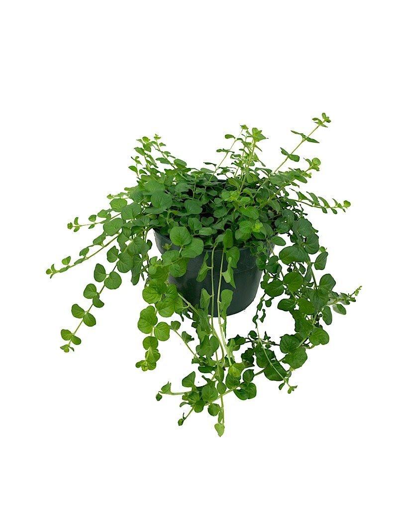 Lysimachia 'Green' - 6 inch