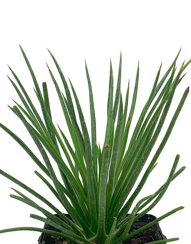 Agave geminiflora - Quart