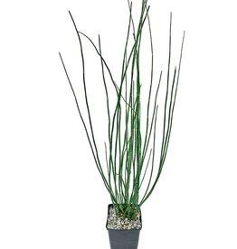 Equisetum japonica - 1 gal