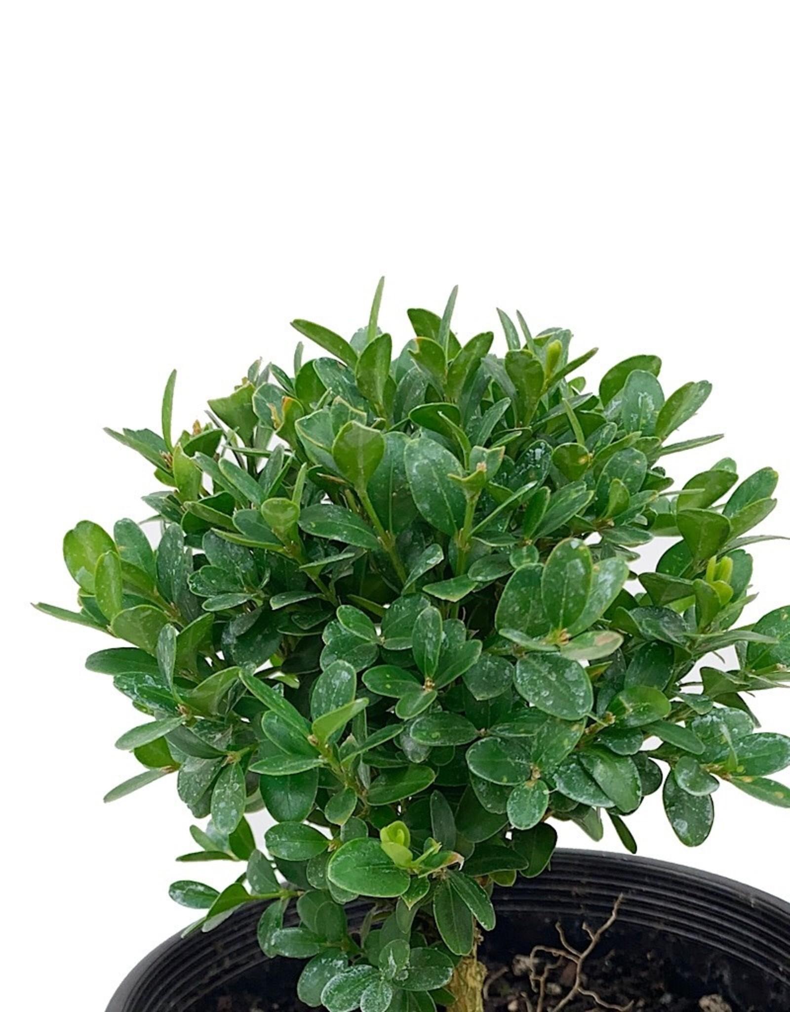 Buxus s. 'Suffruticosa' - 6 Inch