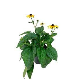 Rudbeckia 'Goldsturm' 1 Gallon