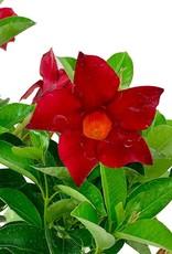 Mandevilla 'Sun Parasol Pretty Crimson'