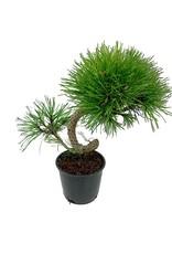 Pinus mugo 'Twisty' - 4 inch