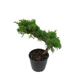 Juniperus c. 'Shimpaku' Bonsai - 4 inch