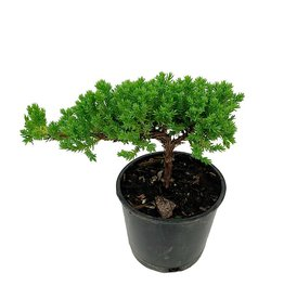 Juniperus p. 'Nana' Bonsai - 4 inch