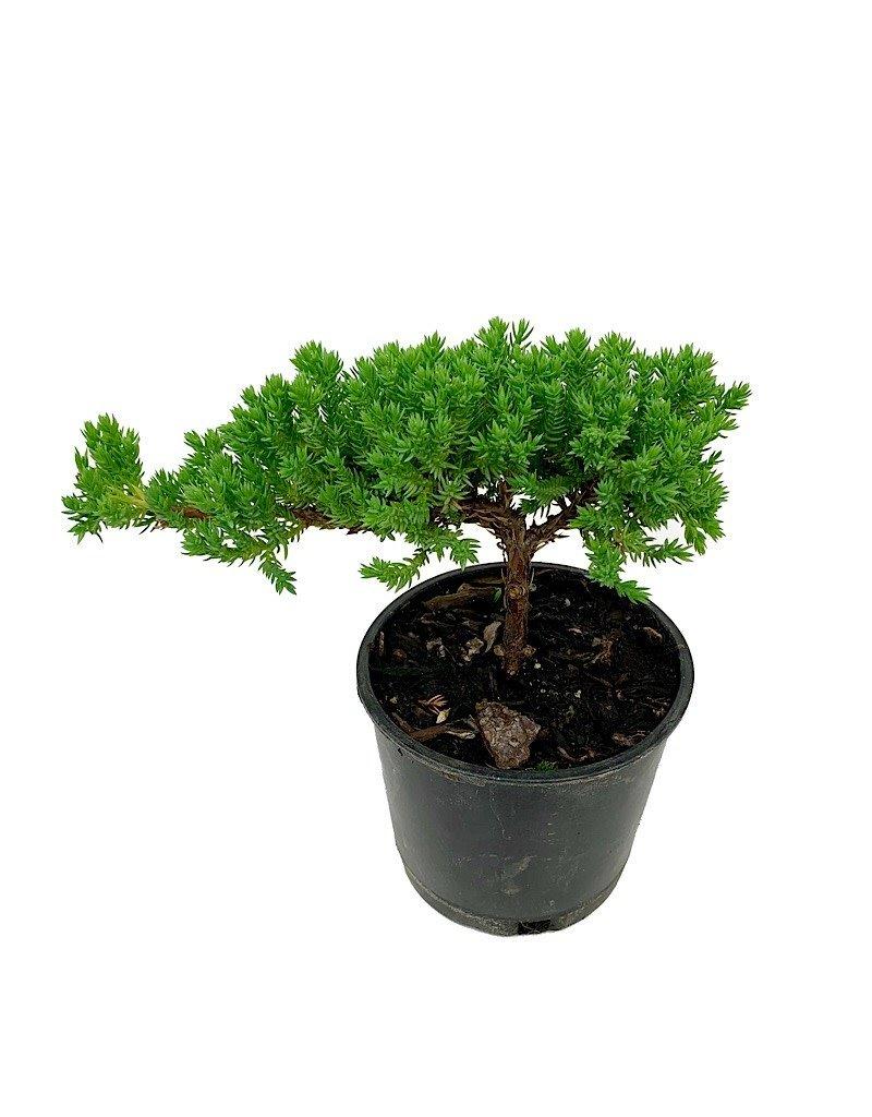 Juniperus p. 'Nana' Bonsai - 4 inch
