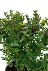 Ulmus parvifolia 'Seiju' Bonsai - 4 inch