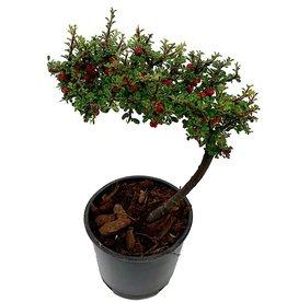 Cotoneaster m. 'Thymifolius' Bonsai - 4 inch