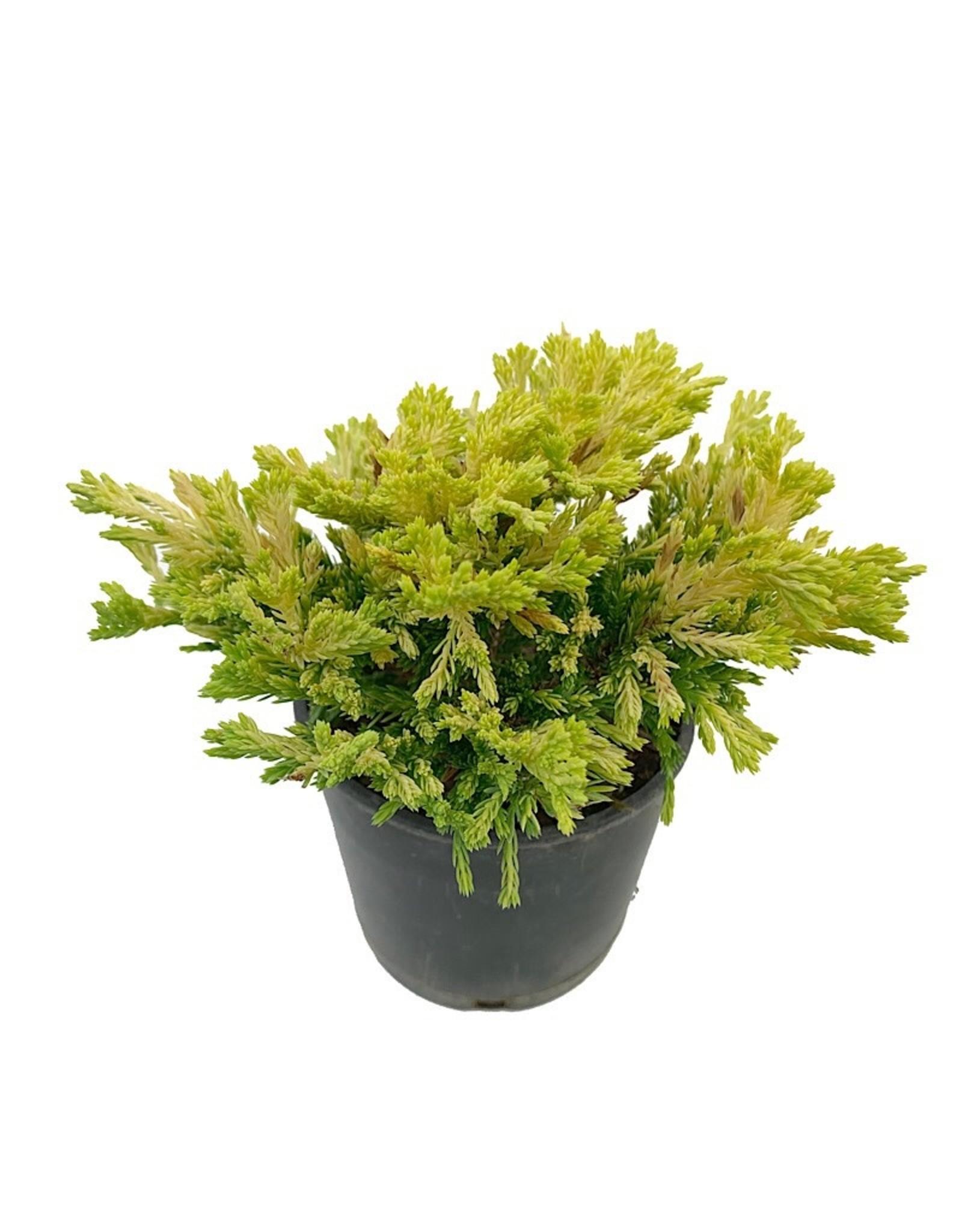 Juniperus horizontalis 'Gold Strike' - 4 inch