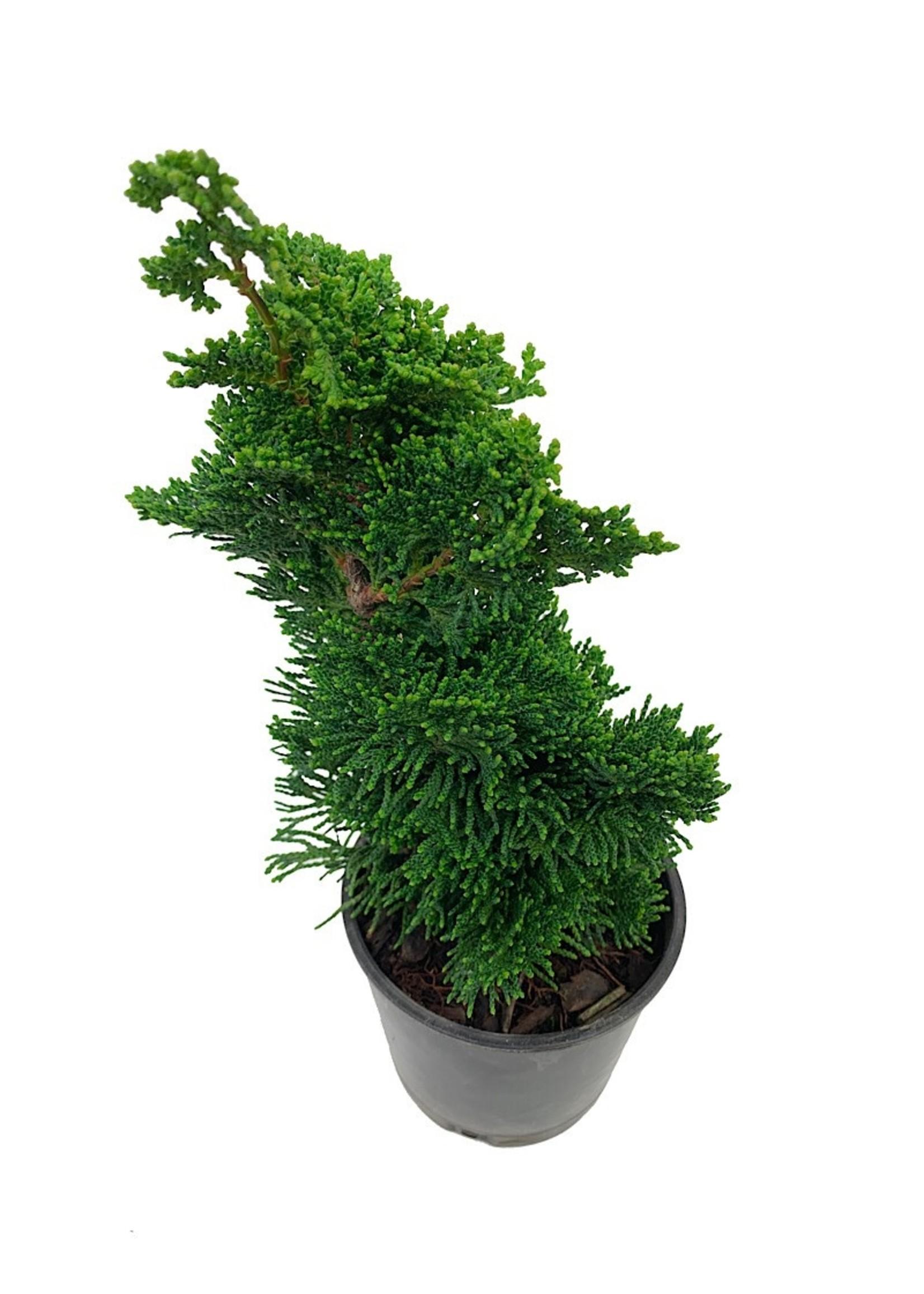 Chamaecyparis obtusa 'Thoweil' Bonsai 4 Inch