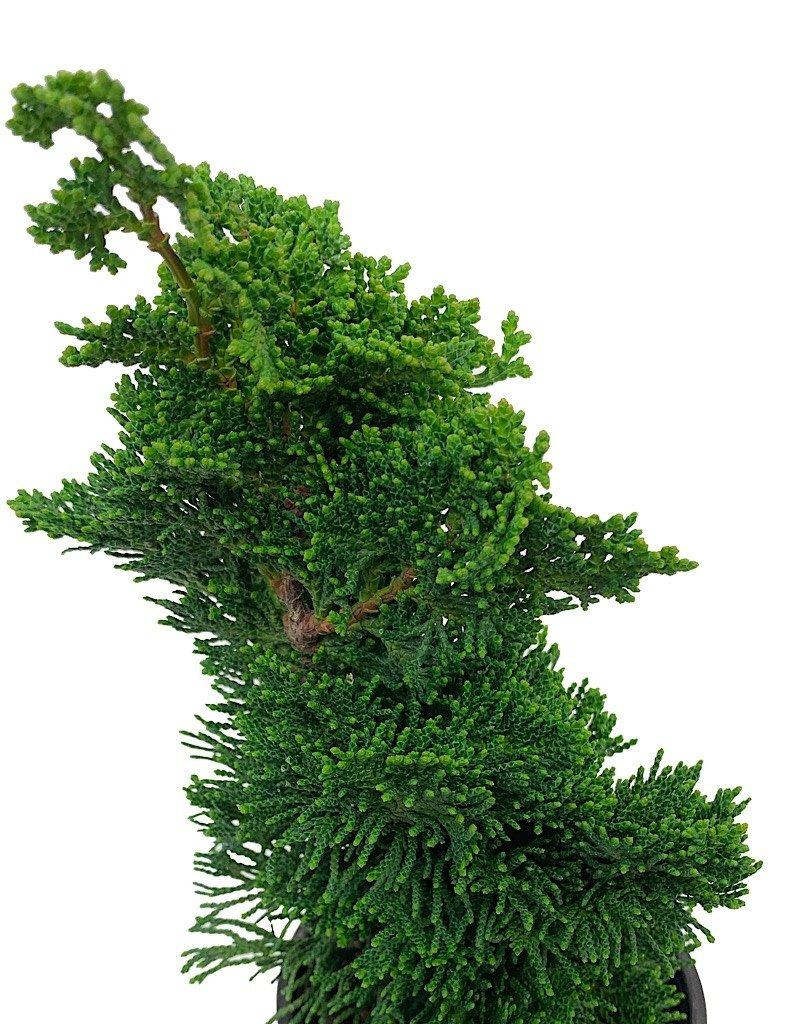Chamaecyparis obtusa 'Thoweil' Bonsai - 4 inch