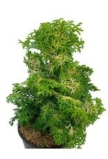 Chamaecyparis obtusa 'Melody'  4 inch