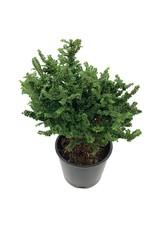 Ulmus parvifolia 'Hokkaido' - 4 inch