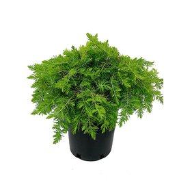 Juniperus conferta 'All Gold' 1 Gallon